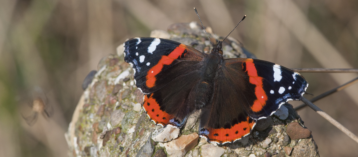 Red Admiral basking in late autumn sunshine. © 2020 Steven Cheshire.