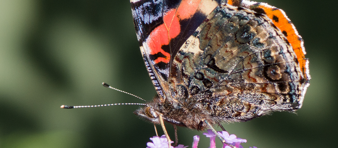 A close-up view of a Red Admiral feeding on Vebena bonarensis. © 2017 - 2020 Steven Cheshire.