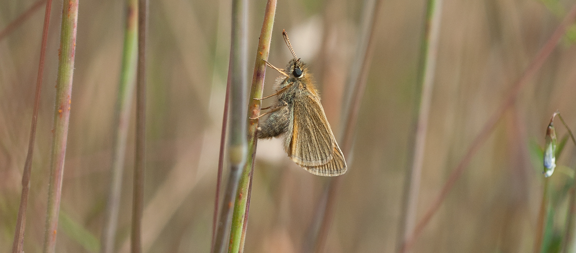 A female Small Skipper laying eggs within a sheath of grass at Alvecote Wood. © 2014 - 2019 Steven Cheshire.