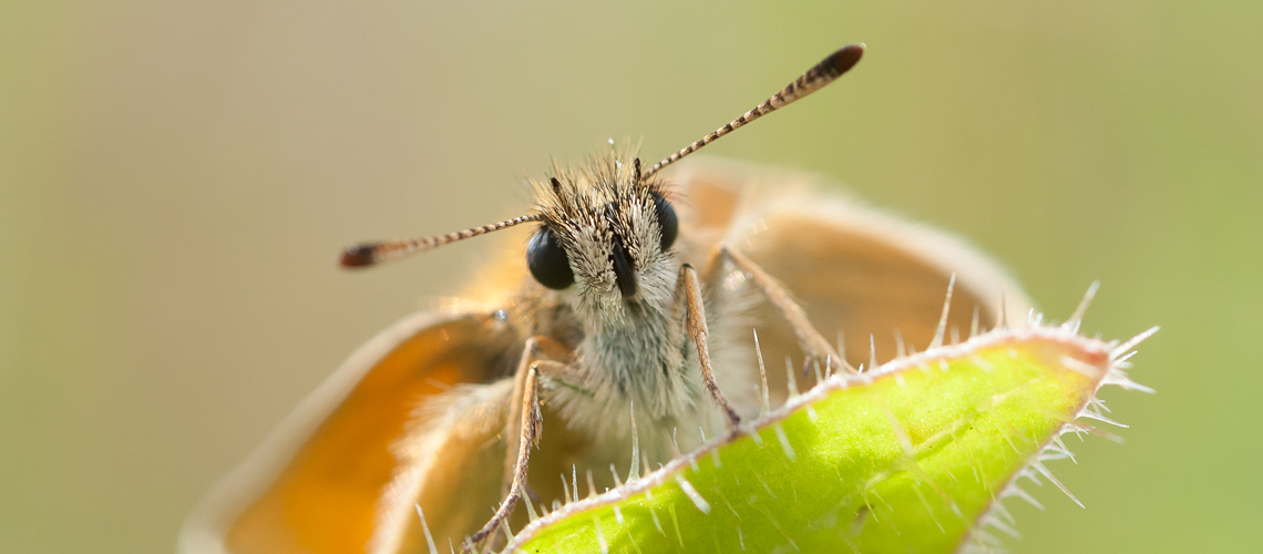Face-to-face with a Small Skipper at RSPB Middleton Lakes. © 2014 - 2019 Steven Cheshire.