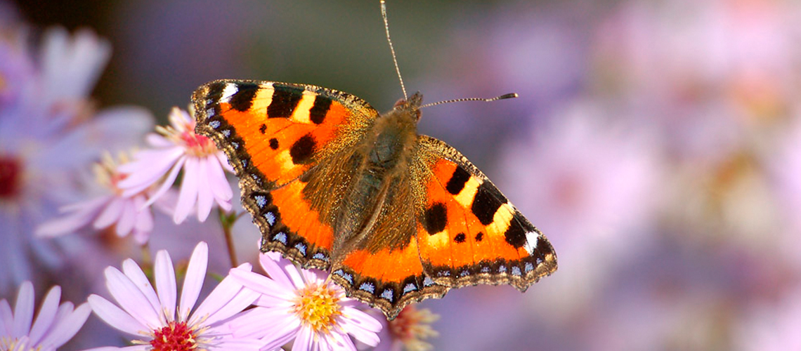 A Small Tortoiseshell feeding on Michaelmas Daisy in a garden a Pillerton Priors. © 2013 - 2019 John Carter.
