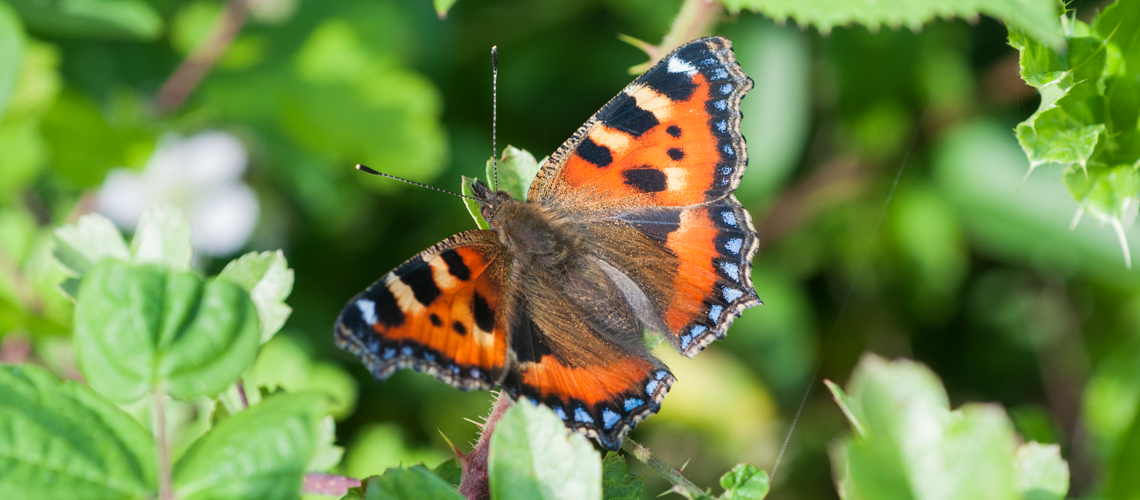 A Small Tortoiseshell at Harbury North Nature Reserve. © 2014 - 2019 Steven Cheshire.