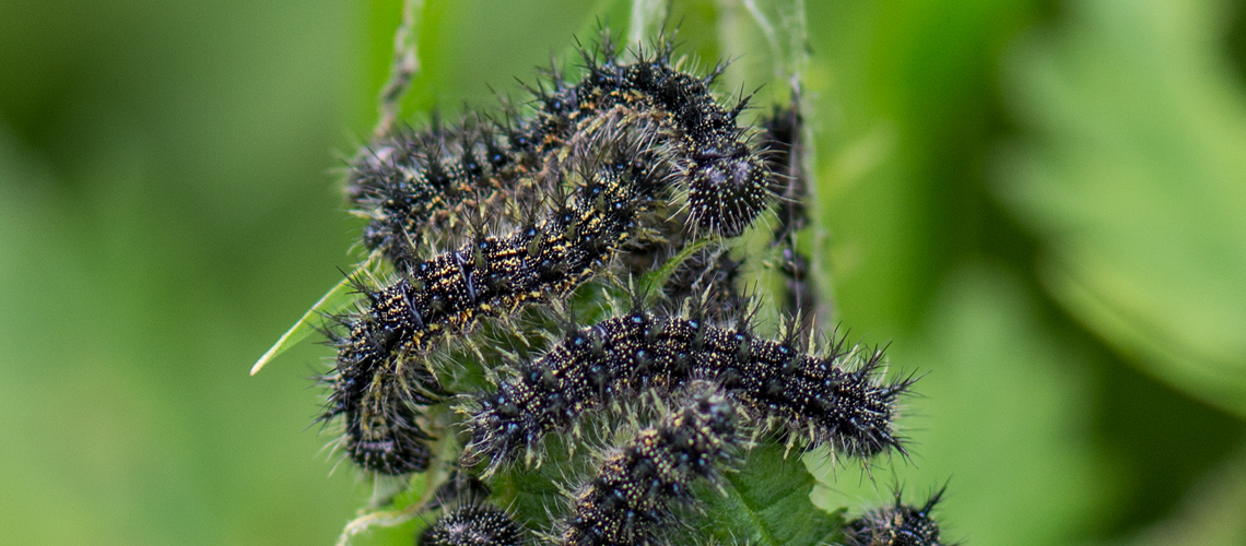 Small Tortoiseshell larvae feeding on Common Nettle at RSPB Otmoor, Oxfordshire. © 2017 - 2019 Steven Cheshire.