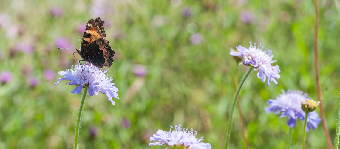 A Small Tortoiseshell feeding on Scabious at Alvecote Wood. © 2014 - 2019 Steven Cheshire.