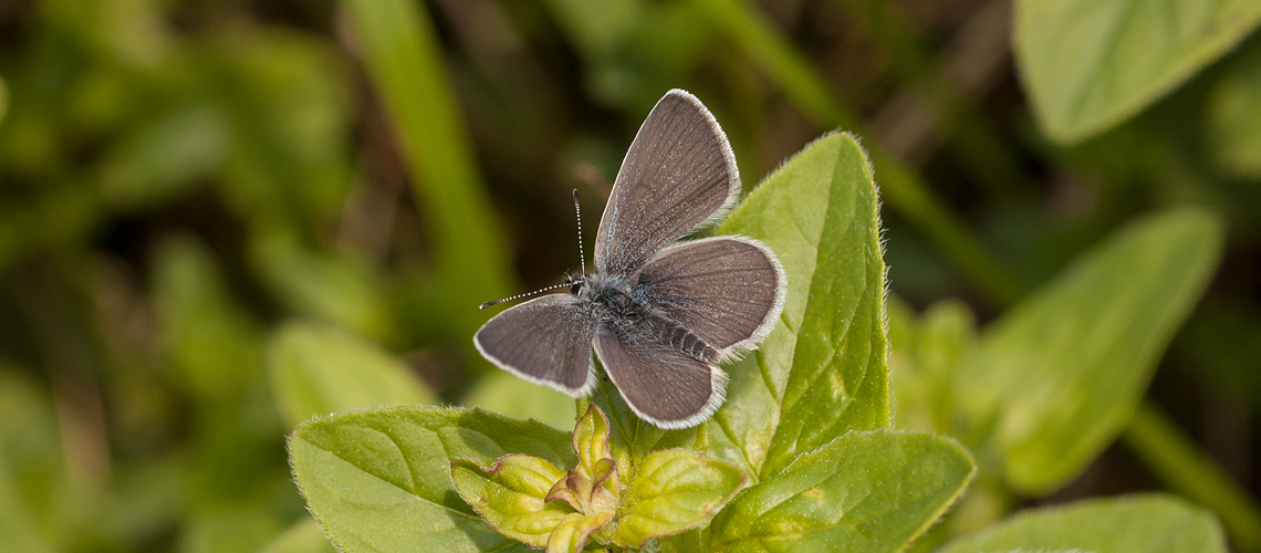 A male Small Blue basking at Rodborough Common, Gloucestershire. © 2008 - 2019 Steven Cheshire.