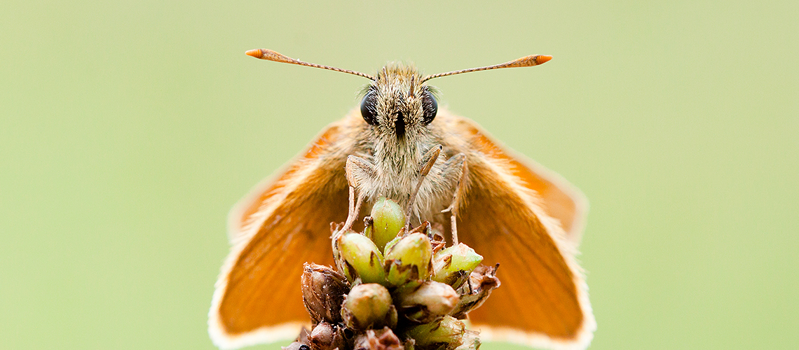 Face-to-face with a Small Skipper. © 2019 Gillian Thompson.