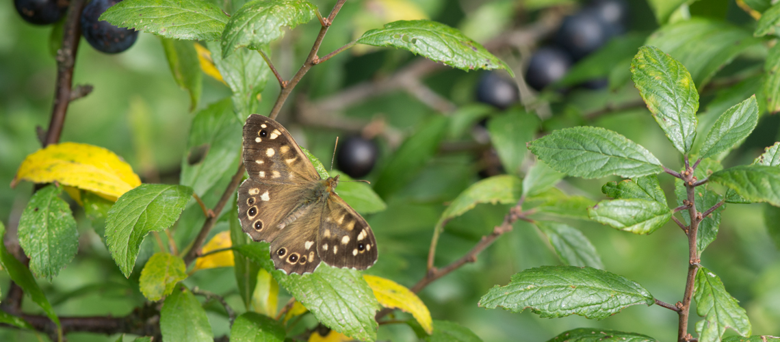 A male Speckled Wood resting in a Blackthorn bush at Brandon Marsh Nature Reserve, Warwickshire. © 2017 - 2020 Steven Cheshire.