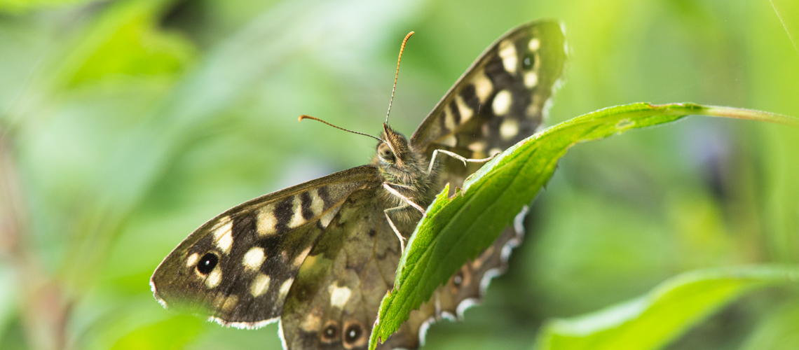 A male Speckled Wood basking in autumn sunshine at Brandon Marsh Nature Reserve, Warwickshire. © 2017 - 2020 Steven Cheshire.