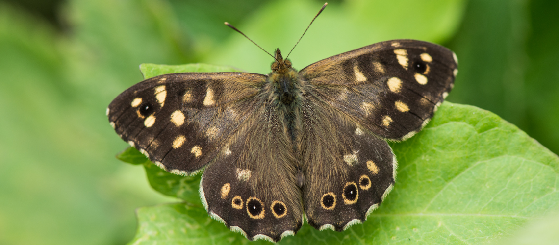 A male Speckled Wood basking at RSPB Otmoor, Oxfordshire. © 2017 - 2020 Steven Cheshire.