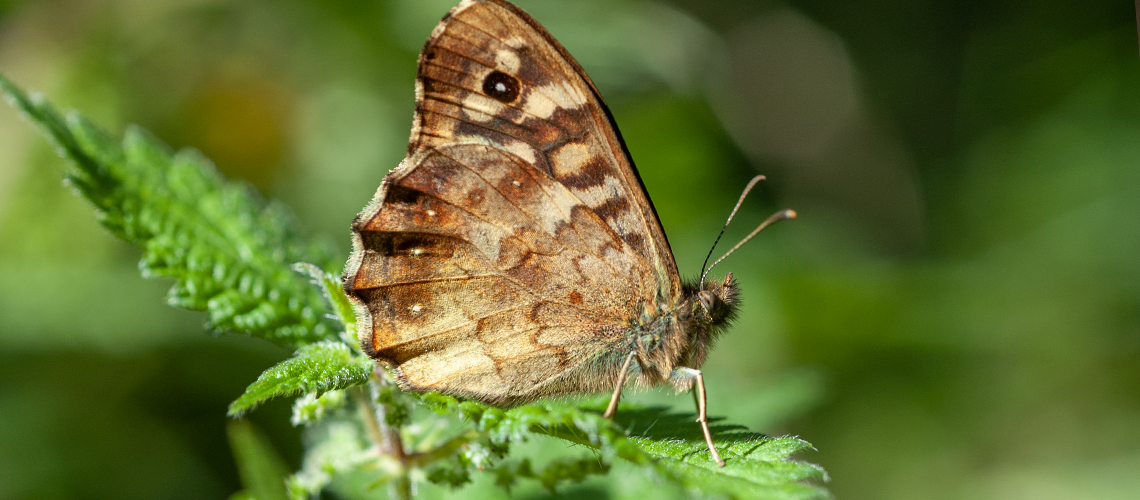 A Speckled Wood resting - Weddington, Nuneaton. © 2007 - 2020 Steven Cheshire.