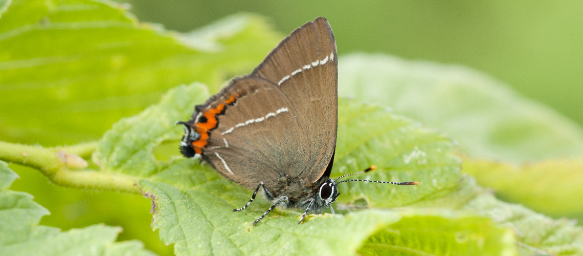 A White-letter Hairstreak resting on the leaves of English Elm at Ryton Wood. © 2007 - 2019 Steven Cheshire.